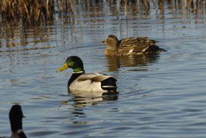 Mallard in Lake