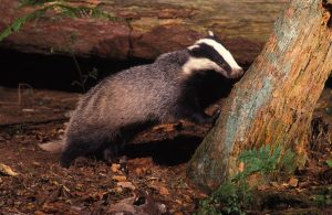 Badger perched against tree